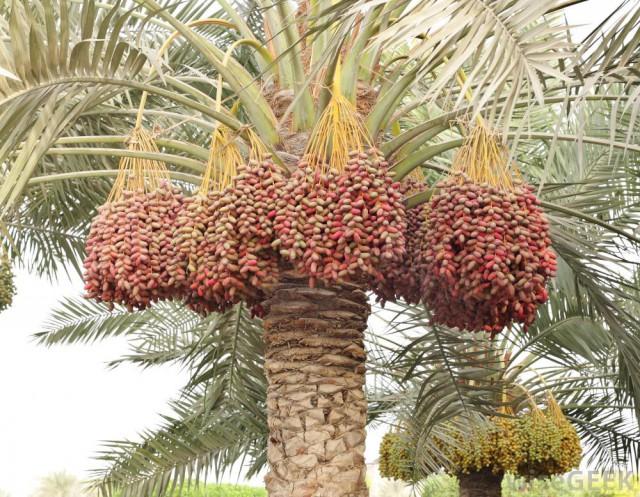 Curmalele sunt printre cele mai grozave dintre fructe: pe lângă multe minerale, antioxidanți, fibre și amino-acizi, au o mare cantitate de glucoză, fructoză și zaharoză.