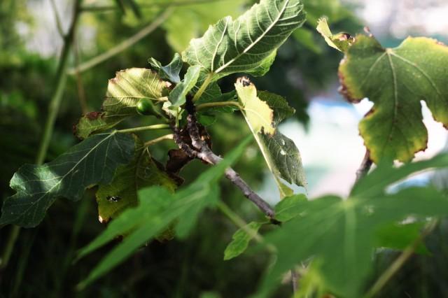 Fructul a venit la nici măcar un an de când am plantat puietul. În noiembrie se împlinește un an de când l-am pierdut pe Angelo.